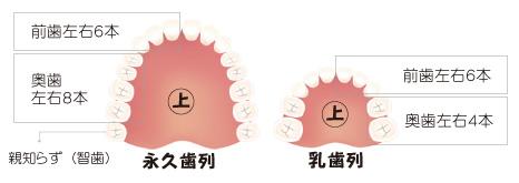 永久歯列と乳歯列