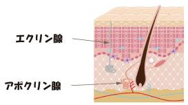 ヒトの汗腺の種類