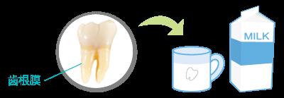 抜けた歯は牛乳に浸して30分以内に処置