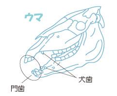 奇蹄類の歯