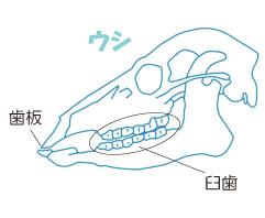 偶蹄類の歯