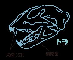 肉食動物の歯