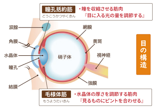 瞳孔括約筋と毛様体筋