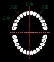 歯の種類の割合